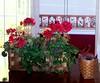 judy's geraniums best