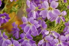 Tropaeolum azureum (Tropaeolaceae) (Tim Waters) Tags: flowers plants kew tropaeolum tropaeolaceae royalbotanicgardenskew tropaeolumazureum
