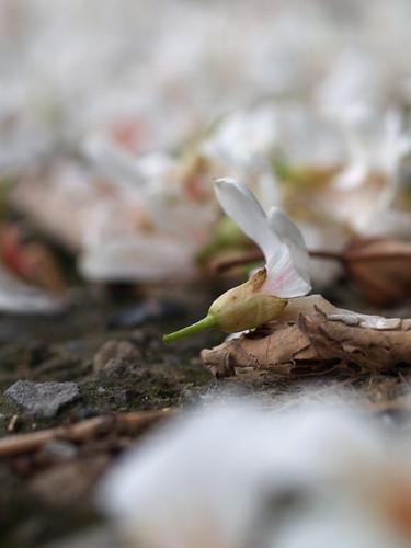 新竹。油桐花
