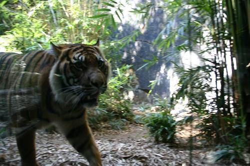 Tiger hissing at the zoo visitors.  Eeeps!