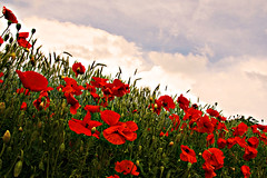 Red poppies (turbomg) Tags: flowers explore poppies fiori 18200 papaveri redpoppies campodipapaveri photoexplore