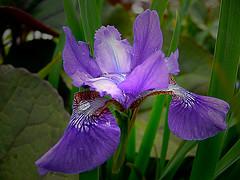 Iris Hybr - Regent's Park (sbuliani) Tags: park iris flower london nature lumix panasonic regents stefano naturesfinest dmcfz50 hybr diamondclassphotographer flickrdiamond buliani flickrelite sapessi stefanobuliani