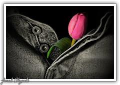The Virgin #2 (Jamal Alayoubi) Tags: rose cutout grey jeans jamal alayoubi