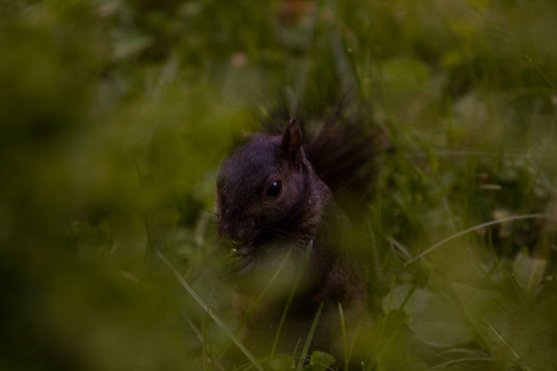 The ever elusive black squirrel