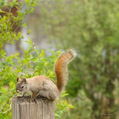 Kensington Squirrel