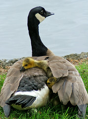 Protective Mom (shesnuckinfuts) Tags: birds geese babies goslings canadiangeese naptime naturesfinest kentwa featheryfriday ilovebirds specanimal may2007 animalkingdomelite abigfave shesnuckinfuts washingtonstateoutdoors goldenphotographer avianexcellence protectivemom