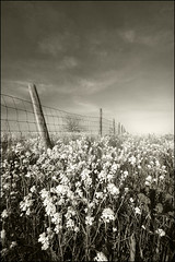 Sepia Meadow (mi_kirk) Tags: sepia fence michigan meadow 123 mustard waterford sharingexposures greatlakesstate superhearts kirkallen