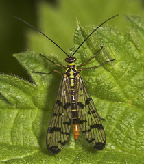 """Female Scorpion Fly (panorpa germanic(4) • <a style=""""font-size:0.8em;"""" href=""""http://www.flickr.com/photos/57024565@N00/496788175/"""" target=""""_blank"""">View on Flickr</a>"""