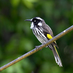 Pose (rovinglight) Tags: bird wildlife south australia western honeyeater newholland lpwild