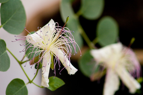 Caper flower (Capparis spinosa L.)