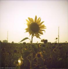 apheliotropic sunflower