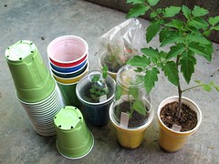Why I Like These Plastic Cups as Planting Pots. (joeysplanting) Tags: pots drinkingcups alsoblogged sologrips