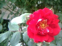 Another rose on the over 100 year old bush (Yakima_gulag) Tags: set nursery mcmahans