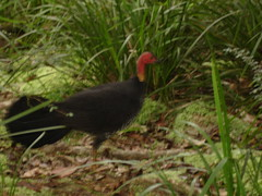 Elusive bush turkey