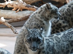 Snow Leopards (lcrymes) Tags: animals zoo leopard henrydoorlyzoo