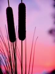 cat tails (Fer Gregory) Tags: pictures sunset plants plant milan color art mxico mexicana de mexico code interesting focus friend icons foto with photos background taken myspace icon clip fotos fernando mexique gregory 10000 f828 mexicano dsc comments comment fotografo coments hi5 codes freg dscf828 naturesfinest supershot coment abigfave anawesomeshot impressedbeauty ultimateshot reg