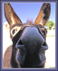 Don't I Nose You From Somewhere? (fotofantasea) Tags: travel blue light portrait sky plants brown house green nature animals closeup composition mouth fur nose grey eyes funny dof angle bokeh silverton perspective donkey australia ears roadtrip whiskers frame newsouthwales outback 460 impressedbeauty superbmasterpiece lmaoanimalphotoaward auselite