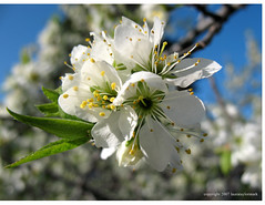 flowering plum (laura*tm) Tags: white botanical blossoms floweringplum