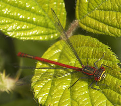 "Large Red Damselfly (Pyrrhosoma nymp(23) • <a style=""font-size:0.8em;"" href=""http://www.flickr.com/photos/57024565@N00/513281374/"" target=""_blank"">View on Flickr</a>"
