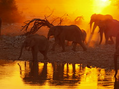 Sundowner (Matzepeng) Tags: africa travel family light sunset shadow sun elephant color reflection art nature water silhouette night composition bath bravo quality olympus elephants botswana bathing namibia coolest etosha nationalgeographic peopleschoice nominated naturesfinest okavangodelta blueribbonwinner cotcmostfavorited flickrsbest praiseworthy specanimal magicalworld beautifulcapture animalkingdomelite abigfave dramaticcolor colorphotoaward superaplus aplusphoto holidaysvacanzeurlaub superbmasterpiece infinestyle favemyfaves