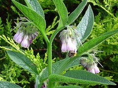 Comfrey with bee