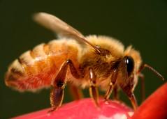 One Fuzzy Sucker (KoehlerColor) Tags: nikon fuzzy bees bee honey nectar d200 sucker nikond200 capturenx nikoncapturenx