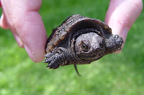 baby turtle crop