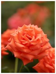 Orange Rose #03
