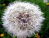 Soft lions tooth (wit) Tags: macro tag3 taggedout ilovenature tag2 tag1 dandelion