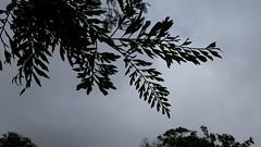 Grevillea-robusta_WaimeaCanyon-Kauai_Cutler_20161121_125939 (wlcutler) Tags: kauai hawaii waimeacanyon grevillea grevillearobusta