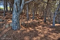 Glacial Wood (Luca Enrico Photography) Tags: bosco wood hdr aghidipino boscagla forest alberi trees isoladelgiglio campese