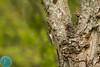 Eurasian Tree-Creeper (Certhia familiaris) Liputis