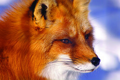 Mr. R (judo_dad1953) Tags: red macro nature animal pentax fox ecomuseum aplusphoto