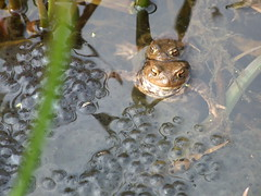 Mating Toads and Frog Spawn (Sparks68) Tags: water reeds amphibian toad mating lumpy spawn bumps staffordshire lumps fradley msh0407 msh04077 bigpicture2008