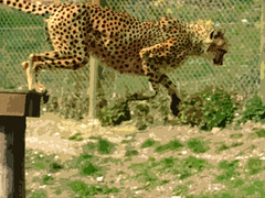 cheetah jump (Mockney Rebel) Tags: marwell marwellzoo fuji finepix fujis9600 photosop againstflickrcensorship