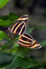 Two butterflies (khasan) Tags: arizona nature rain gardens forest butterfly botanical tucson district magic exhibit midtown winner shield finest excellence chota naturesfinest
