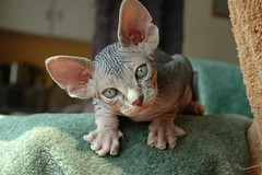 Fester (Vina the Great) Tags: baby cute cat kitten yoda lol sphynx hairless fester hes interested blueyes 8weeksold friggin earz sarandy wwwsarandybe kittystormtroopers nestf greenyes had2cumback4him gremlinish hesfriggincute alemdagqualityonlyclub