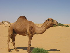 Bull camel: Western Desert in Egypt (neiljs) Tags: sahara desert egypt camel