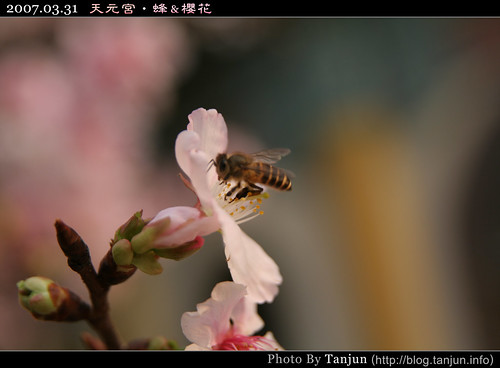 天元宮‧蜂&櫻花