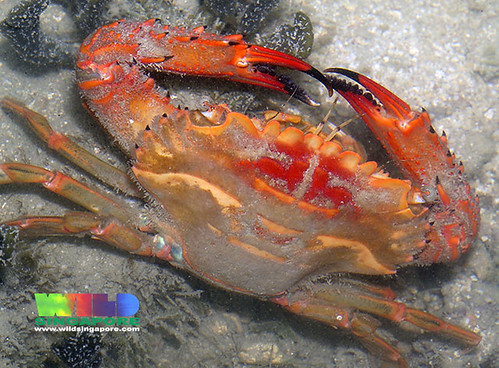 Red swimming crab (Thalamita spinimana)