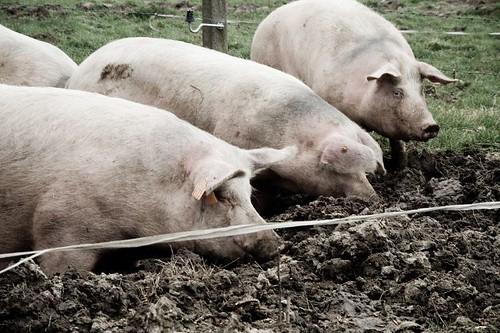 Bioboerderij - Varkens