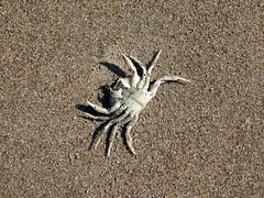 Crab (Magnific) Tags: ireland sand crab kerryeaster2007
