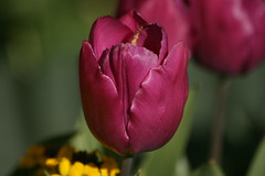Tulp (rp.wen) Tags: tulp