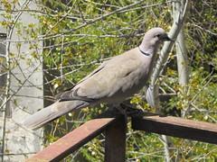 Turturica - Turtle Dove