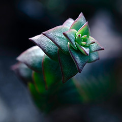 4-Dimensional (ylvan) Tags: blue england black macro green london nature canon garden southafrica succulent flora bravo purple searchthebest time 100mm 4d excellence supershot magicdonkey abigfave goldenphotographer diamondclassphotographer bratanesque stringofbuttons