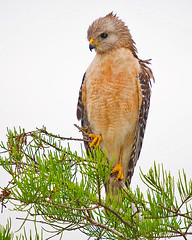 Red Shouldered Hawk (Michael Pancier Photography) Tags: evergladesnationalpark redshoulderedhawk hawks fineartphotography naturephotography seor buteolineatus naturesfinest naturephotographer abigfave floridaphotographer michaelpancier michaelpancierphotography floridaavianphotography wwwmichaelpancierphotographycom seorcohiba floridabirdsbirdsofflorida
