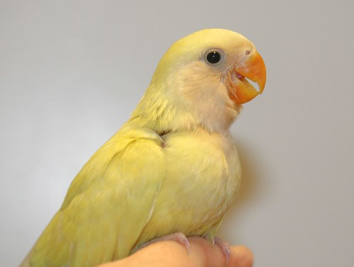Dyna the love bird... says Happy Yellow Feathery Friday!