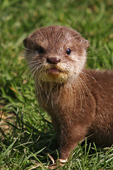 """Baby Otter 03"" by Nissan Note"