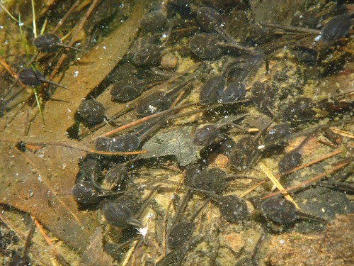4C-tadpoles.jpg