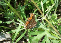 Comma in Russia Dock Woodland